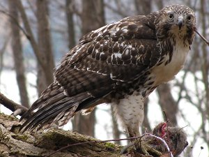 hawk adaptations